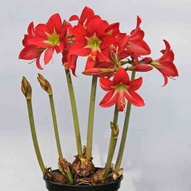 this red Amaryllis is dangerous to cats