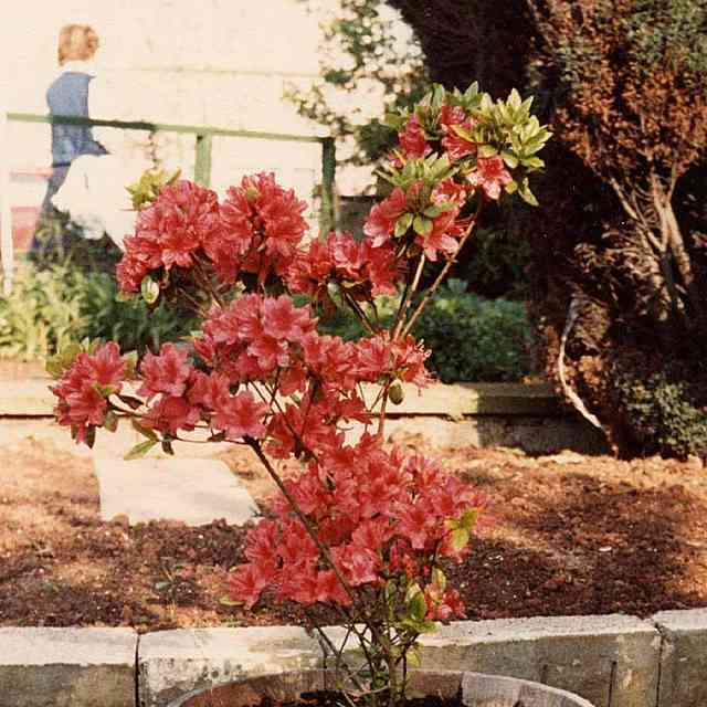 this red Azalea is dangerous to cats