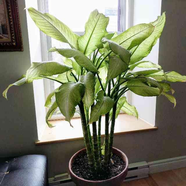 this green Dieffenbachia houseplant is dangerous to cats