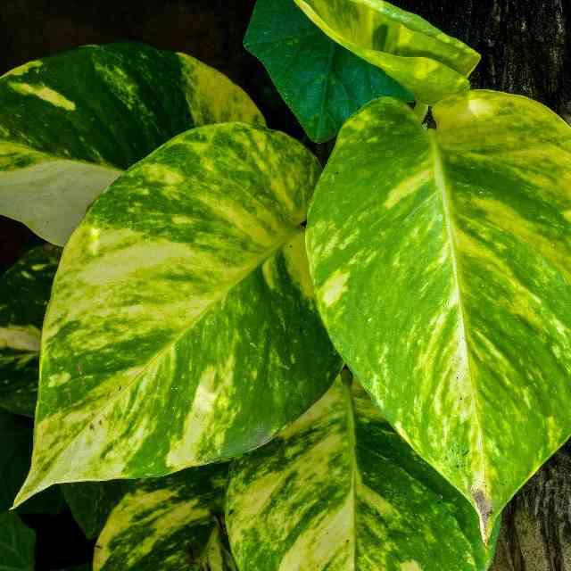 the Epipremnum aureum is a plant dangerous to cats