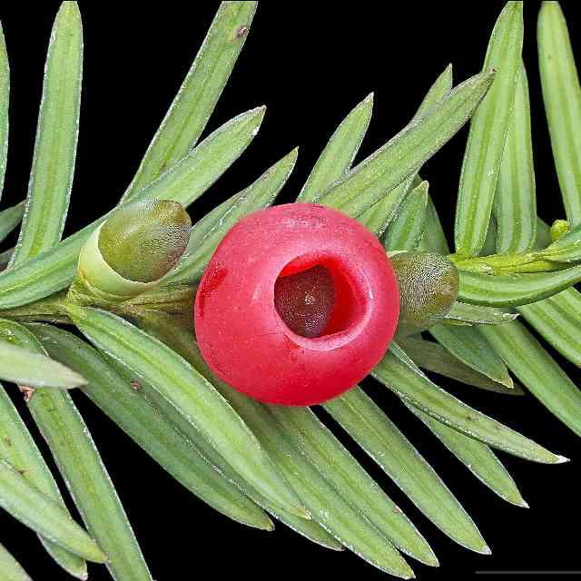 the Taxus baccata is dangerous to cats