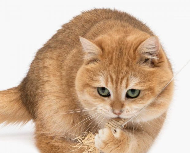 Ginger cat playing with little toy